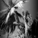 palmbushesblackwhite
