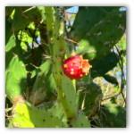 lalanchacactusfruit