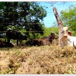 HP cows